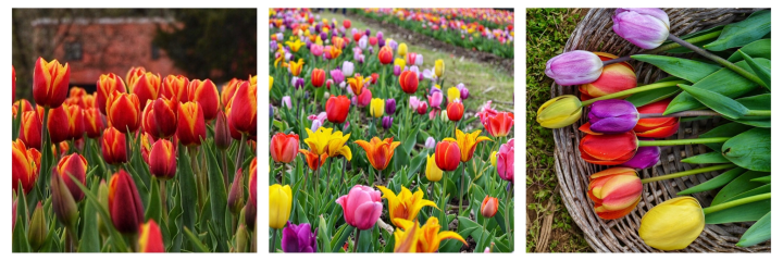 Things To Do In Virginia; Visit A TulipFarm